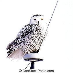 Snowy Owl Posing in Wisconsin