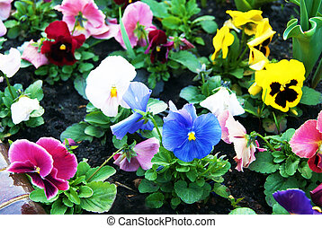 Wet Viola Flowers Background - Viola Flowers pansy in urban...