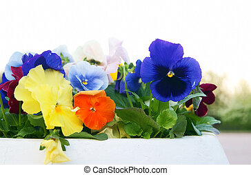 White Pot with Viola Pansy Flowers, closeup