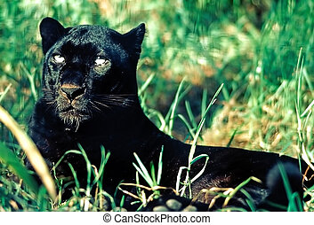 Black panther - Close up of a Black panther
