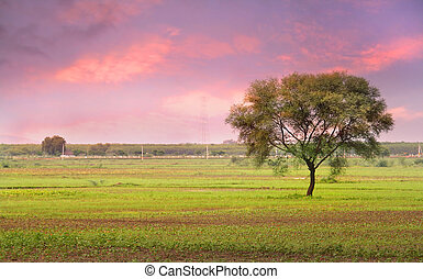 Single Tree In The Fields Of India