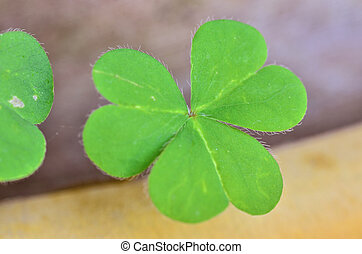 Beautiful green leaves of Water clover