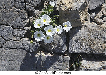 little flowers - little white flowers in stone on mountains