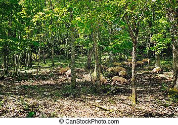 Feeding Pigs - Herd of italian pigs eating acorns of oaks in...