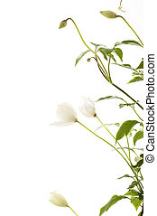 clematis climbing plant - Clematis Persian fragrance,...