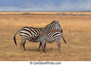 Zebra Nursing in Serengeti National Park, Tanzania
