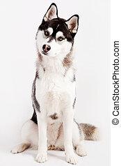 Siberian Husky in the studio