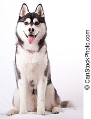 Siberian Husky in the studio