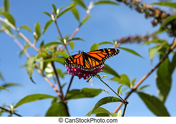 Monarch Butterfly Feeding In The Morning Sun