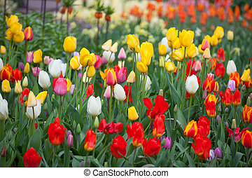 Field with multi colored tulips