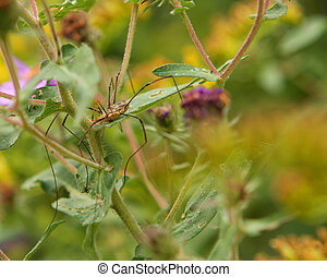 Harvestmen - Harvestman Resting On A Cool Morning In Asters