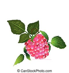 raspberry from the bush - an illustration of a single...