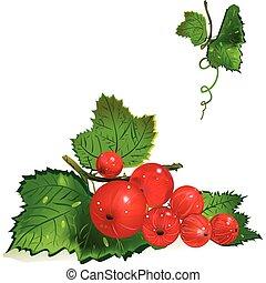 redcurrants on the vine