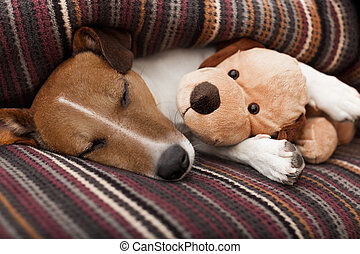 dog sleeping - jack russell terrier dog under the blanket in...