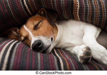 dog sleeping - jack russell terrier dog under the blanket or...