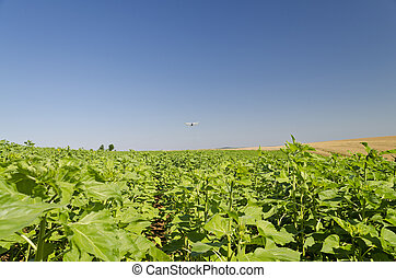 An agricultural crop duster flying low over a sunflower field, spraying chemicals
