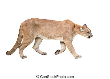 puma isolated - puma or cougar isolated on white background