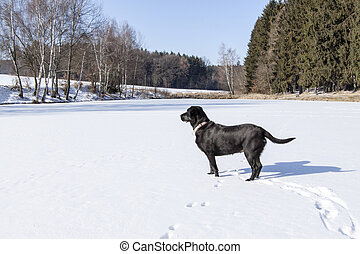 pond under snow in winter and black dog - pond under snow in...