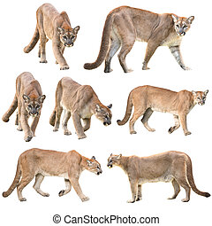 puma or cougar isolated on white background collection
