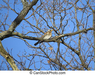Thrush in the forest - Thrush among the branches in the...