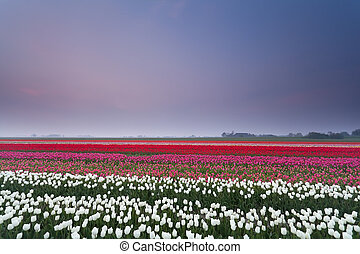 tulip field at sunset in spring
