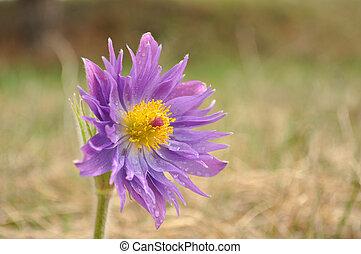 Pasque flowers rare version, Pulsatilla patens