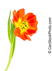 Orange tulip isolated on white