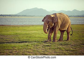 Elephant eating sloppily