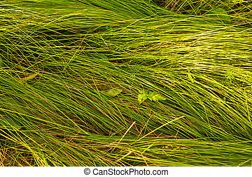 herbage - Young juicy green grass Texture herb cover On the...