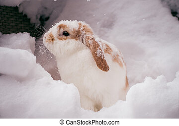 white and brown rabbit in snow - white and brown rabbit...