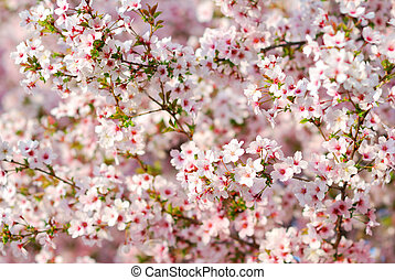 Pink cherry tree blossoms in springtime
