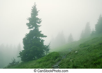 Spruce tree in dense fog in the mountains