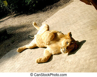 lion - the young lion basking in the sun