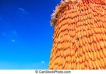 Corn harvest background