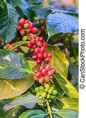 árvore, café, feijões,  arabica
