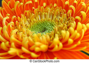 close up gerbera flower in garden - close up vivid gerbera...