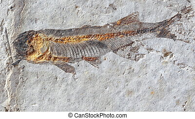 close up fish fossil in stone - close up macro fish fossil...