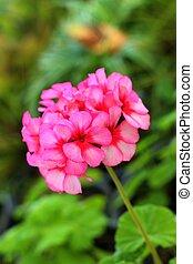 Hydrangeas flower in nature at the garden