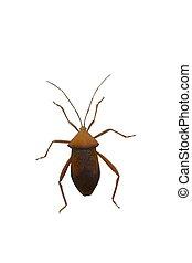 cierre, Arriba, Hemiptera, insecto, aislado, en, blanco,