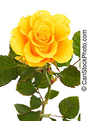 Fresh yellow roses on a white background