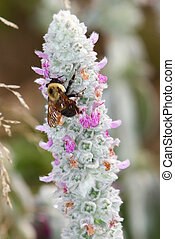 Bee Flower - Bee withdrawing pollen and nectar from a...
