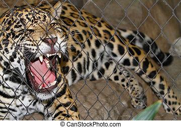 Caged Jaguar Growling - Caged jaguar angry about animal...
