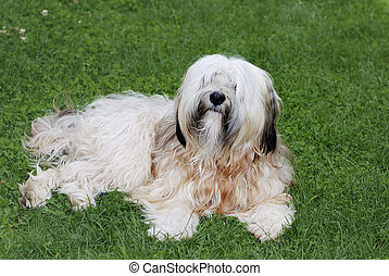 Tibetan terrier dog lying in the grass...