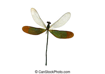 close up dragon fly isolated on white background
