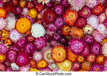 Straw flower, Everlasting - Colorful Straw flower,...