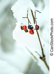 snowball berries in snow