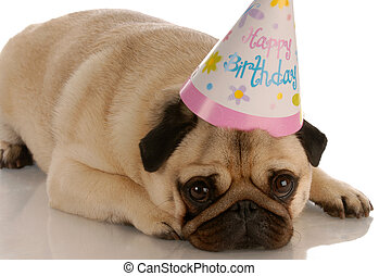 pug laying down with birthday hat on white background