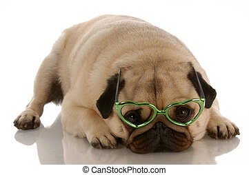 adorable pug wearing heart shaped glasses on white...