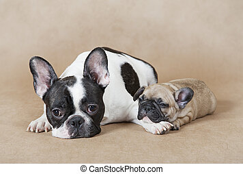 French bulldog mommy with puppy - Pure breed French bulldog...