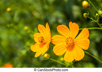 Yellow cosmos flowers on tree - Yellow cosmos flowers on...